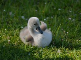 Little swan in the grass