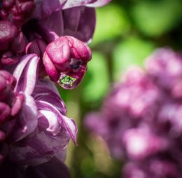 Lilac, after the rain