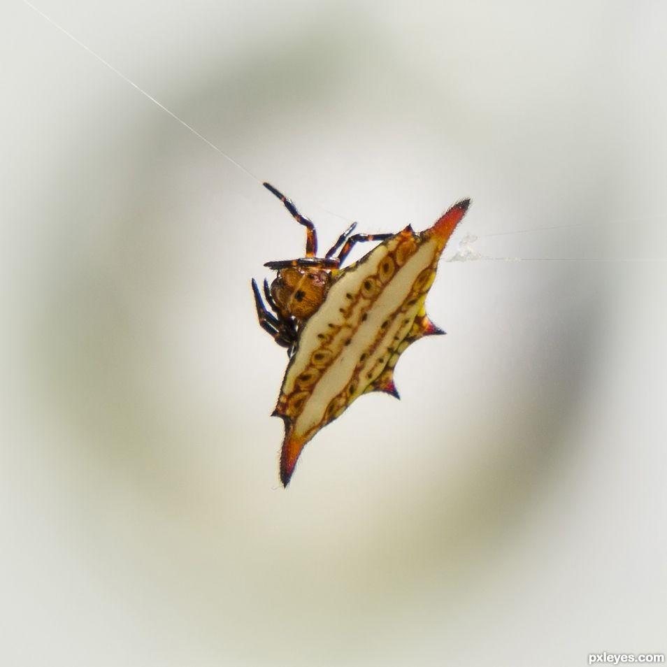 Spiny Orb Web Spider