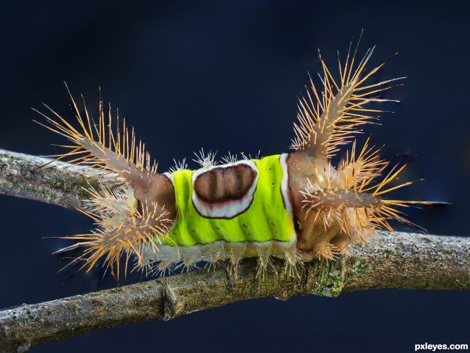 Venomous saddleback caterpillar