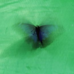 The flap of the butterfly wings Picture