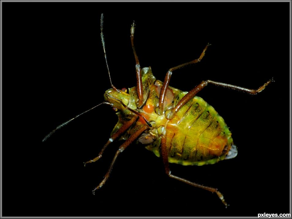 Green shield bug seen from below
