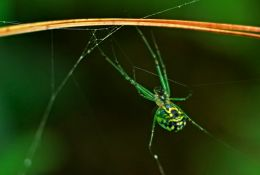 Tiny Green Spider