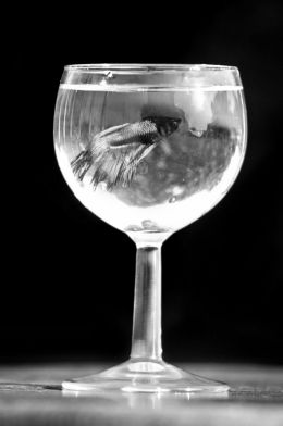 Glass of Betta