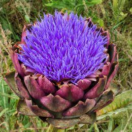 Artichokeflower