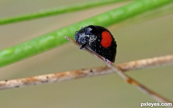 Inverted LadyBug