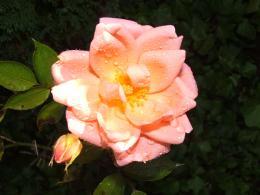 BlossomingRose