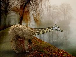 Giraffpaca