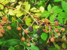 Mmmm Blackberries
