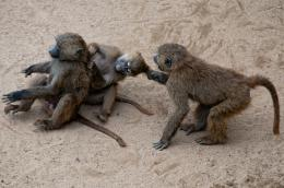 Fighting Monkeys