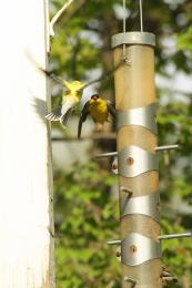 Finch Fight