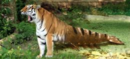 Yawning Tiger Prawn