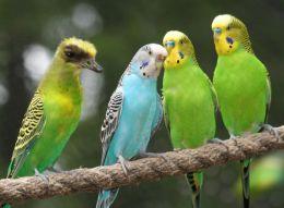 Gossip In The Parakeet Community