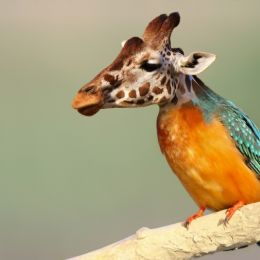 Giraffisher