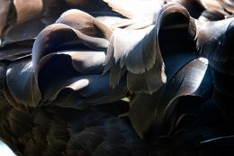 Feathers on the back of a black swan