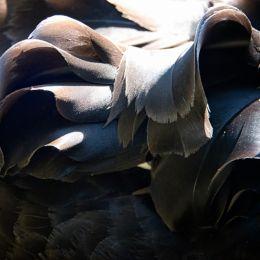 Feathersonthebackofablackswan