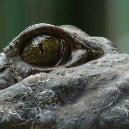 Eyeofanalligator