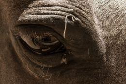 Horse Fly Eye