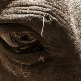 HorseFlyEye