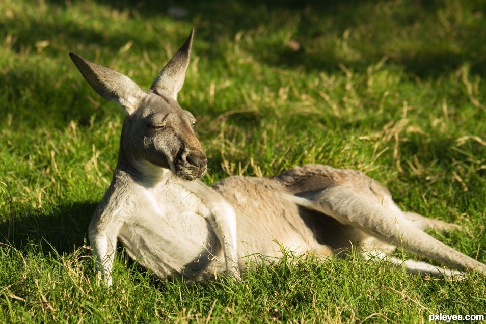 Sunning Roo