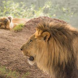 Lionessphotobomb