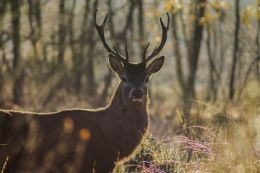 Local Red Deer Stag