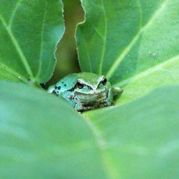 FrogHideaway