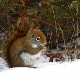 RedSquirrel