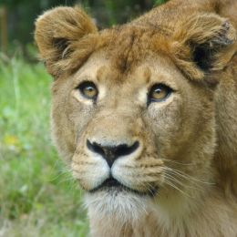 Thelioness