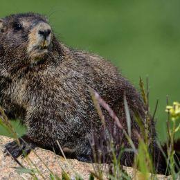 Mr. Marmot Picture