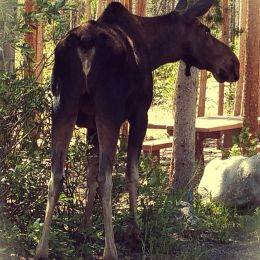 Baby bull moose Picture