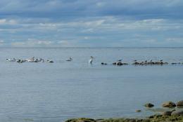 PelicansampSeagulls
