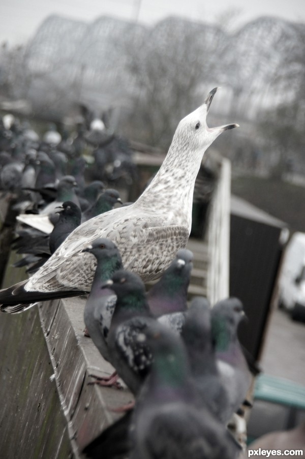 Seagull and Pigeons