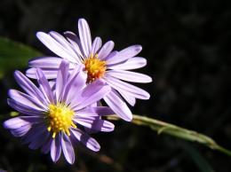 PurplePetals