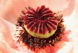 OpiumSpongeCake