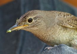 House Wren Picture