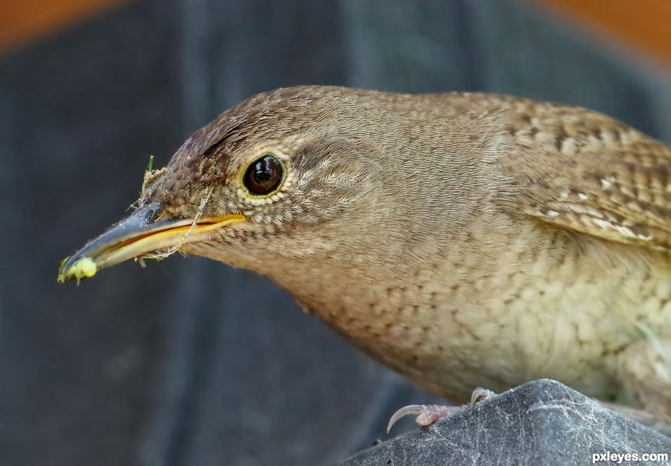 Momma House Wren