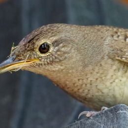 MommaHouseWren
