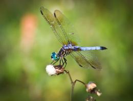 FloridaDragonfly