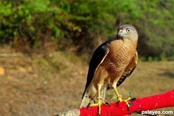 Aquila hastata eagle