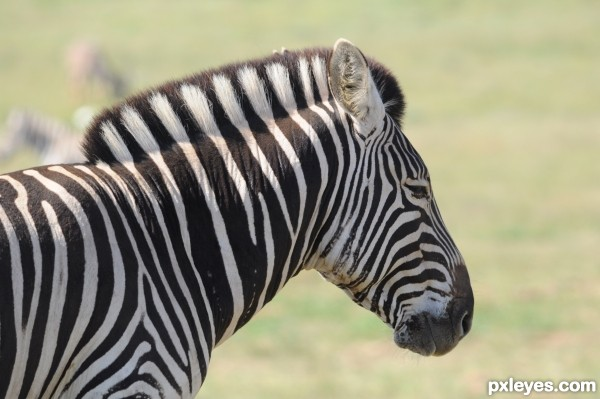 Portrait of zebra