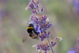 lavender bee Picture