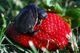 strawberryturtle