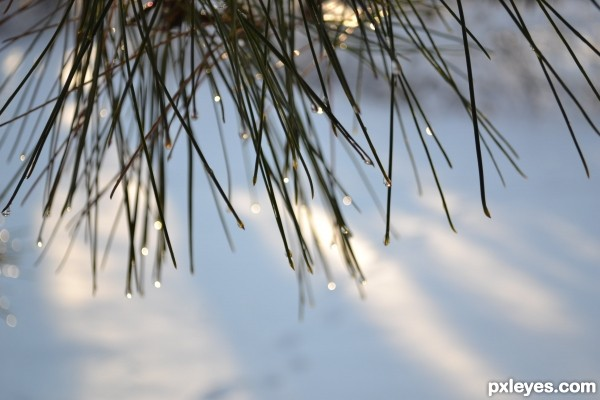 Sparkle Pines