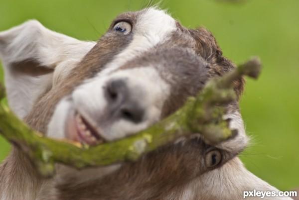 crazy wild goat