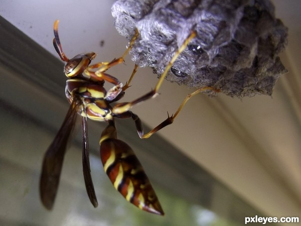 HAIL TO THE QUEENwasp macro Queen Wasp