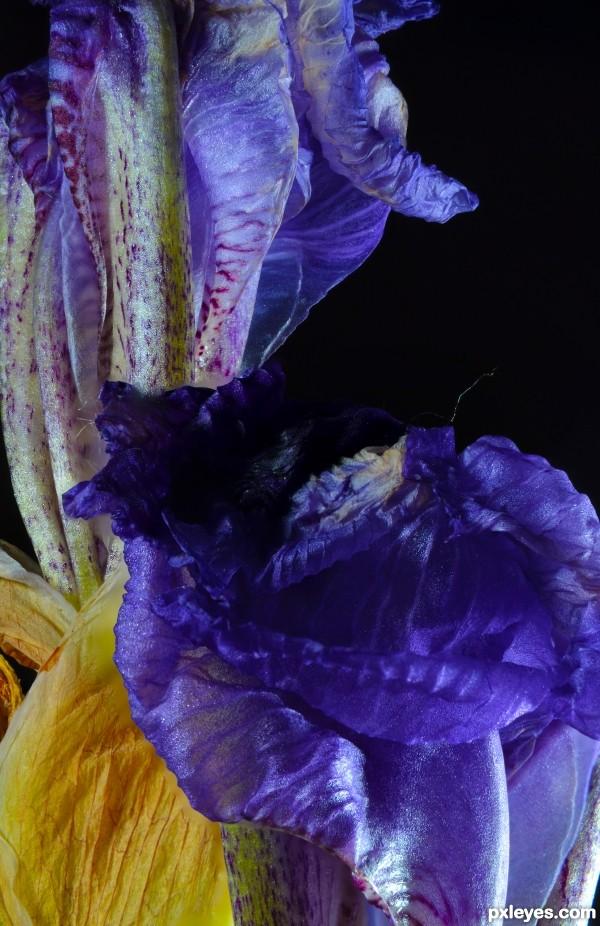 Iris at End of Season