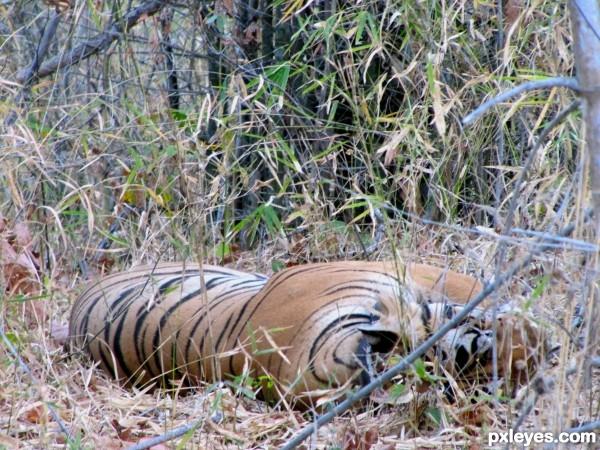 bengal tiger siesta