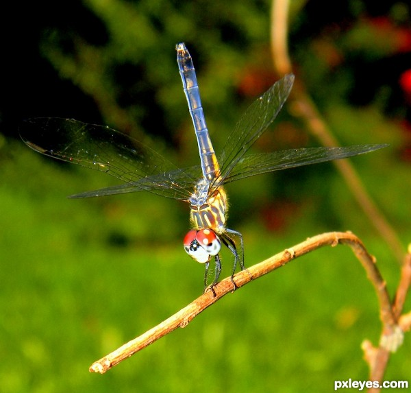 Dancing Dragonfly