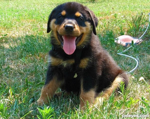 pure breed pup